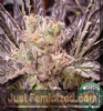 Soma Lavender Female 5 Marijuana Seeds